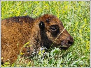 A Junior Buffalo Resting Among Yellow Sweet Clovers