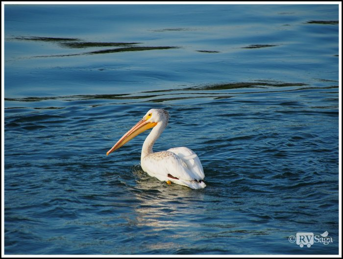 A-Pelican-on-Missouri-River