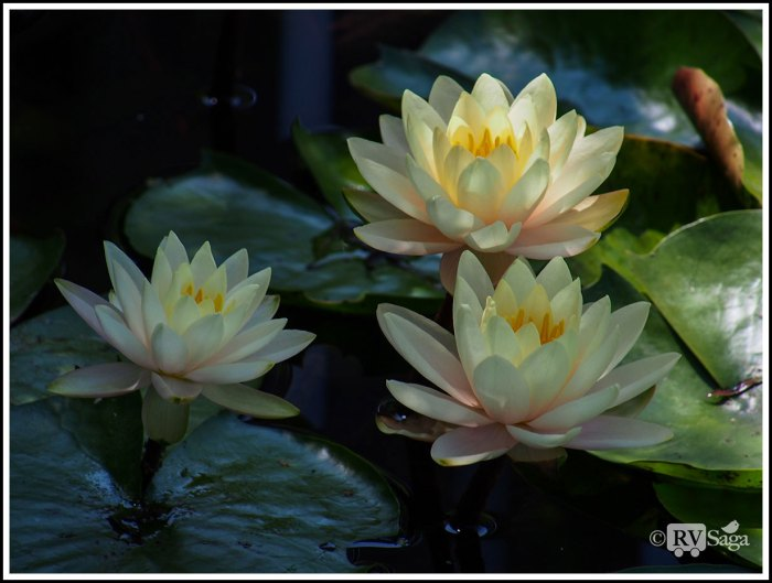 A-Trio-of-Water-Lilies