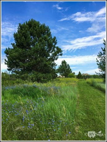 Pines and Wildflowers by the Trail