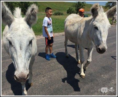 Two Two White Burros. Custer State Park. South Dakota