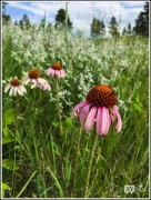 Wild Purple Cone Flowers