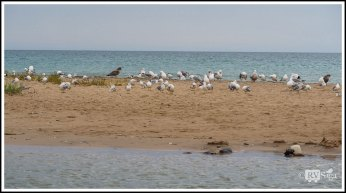 Seagulls on the Sand Bar Between Platte River and Lake-Michigan
