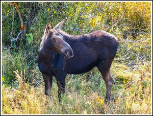 A Female Moose in the Morning at Grand Teton National Park. Wyoming