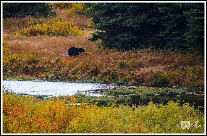 A-Running-Black-Bear