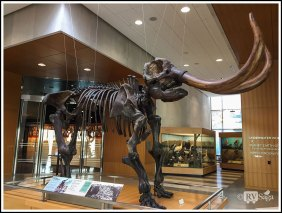 Fossil of Mastodon