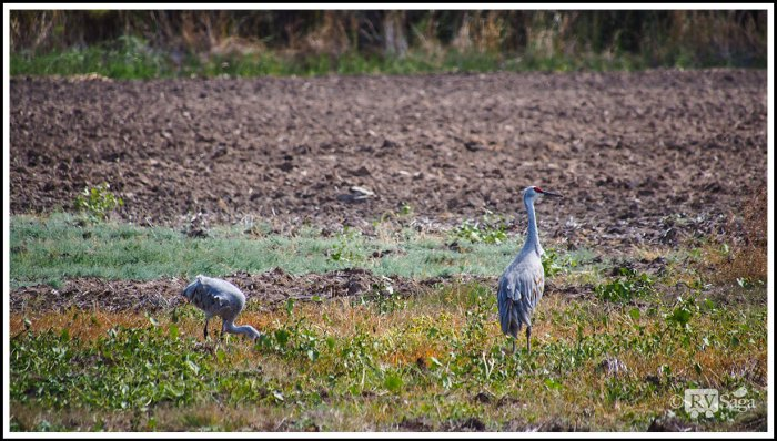 A-Couple-of-Sandhill-Cranes