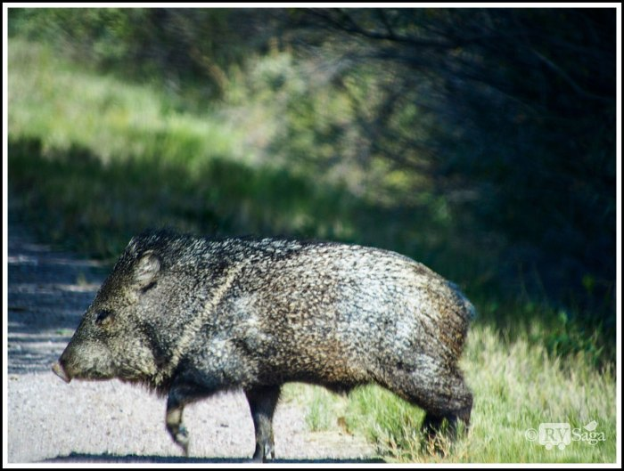 A-Javelina-Crossing-the-Road