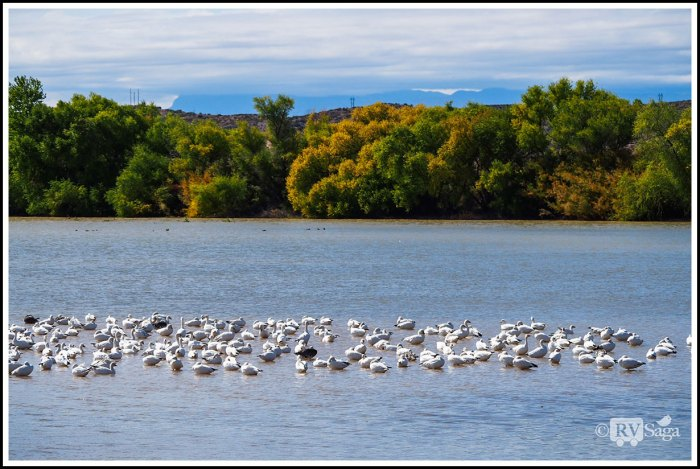 Hundreds-of-Snow-Geese-at-the-Bosque