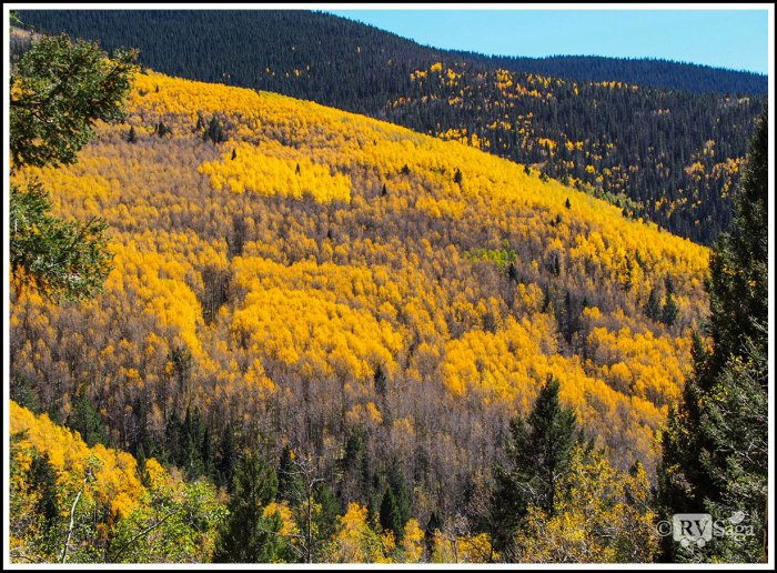 Yellow-Aspen-Grove