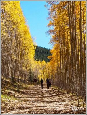 Yellow Aspens Lining the Trail. Sangre de Cresto Mountains. Santa Fe, New Mexico
