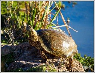 A Big Turtle