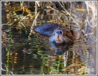 A Beaver