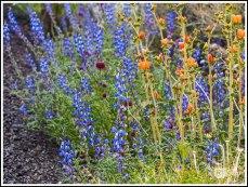 Mojave Lupines and Orange Globemallows