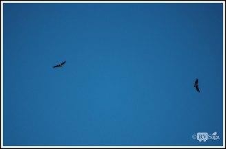 Flying California Condors