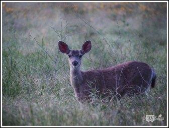 A Mule Deer by Bench Trail