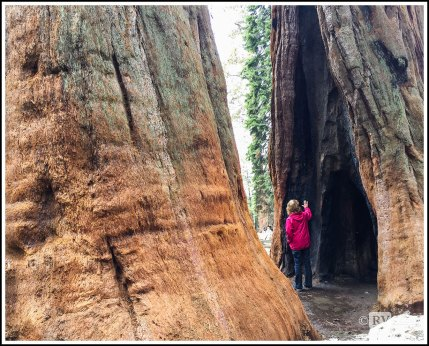 Twin Sequoias at Sequoia National Park