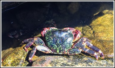 A Sea Crab at Point Lobos