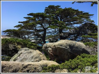 Monterey Cypress at Point Lobos