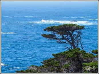 Gnarled Monterey cypress