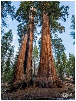 Two Giant Sequoias at Kings Canyon State Park. Photo Credit: Stephen Jones