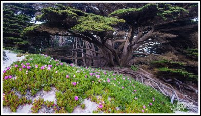 Cypress and Blossoms by Pfeiffer Beach