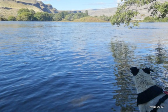 Spike looks over the Deschutes River.
