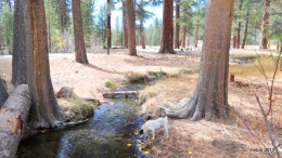 Spike and Bridget loved our walks along Glass Creek and through the pines.  Pine needles are easy on paws!