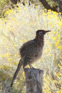 A roadrunner sat on a post near our campsite just long enough for this photo to be taken.
