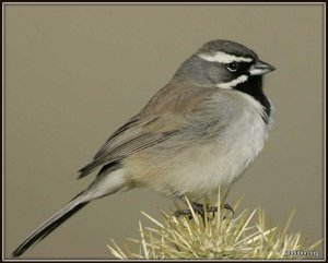 1-Black-throated_Sparrow_s70-3-002_l_1