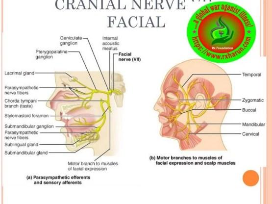 rxharun.com/cranial-nerves-17-728