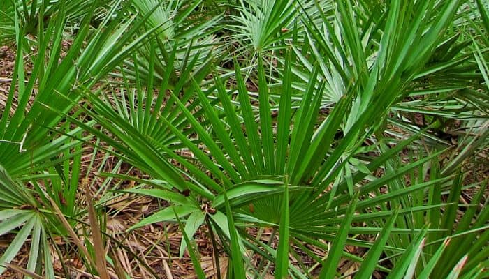 Saw palmetto, Saw Palmetto; Health Benefits, Uses, Dosage, Effects,
