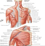 Subclavius Muscle; Origin, Nerve Supply, Functions