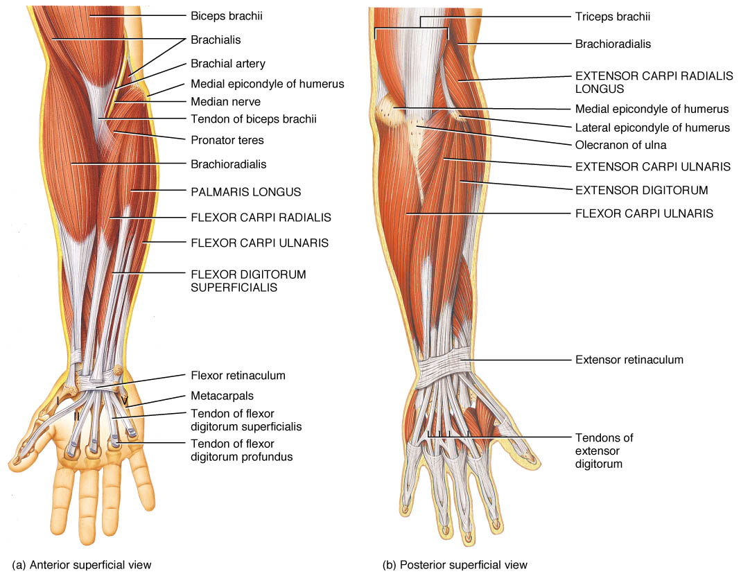 Superficial Muscles of Posterior Compartment of Forearm, Superficial Muscles of Posterior Compartment of Forearm,