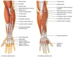 Superficial Muscles of Posterior Compartment of Forearm