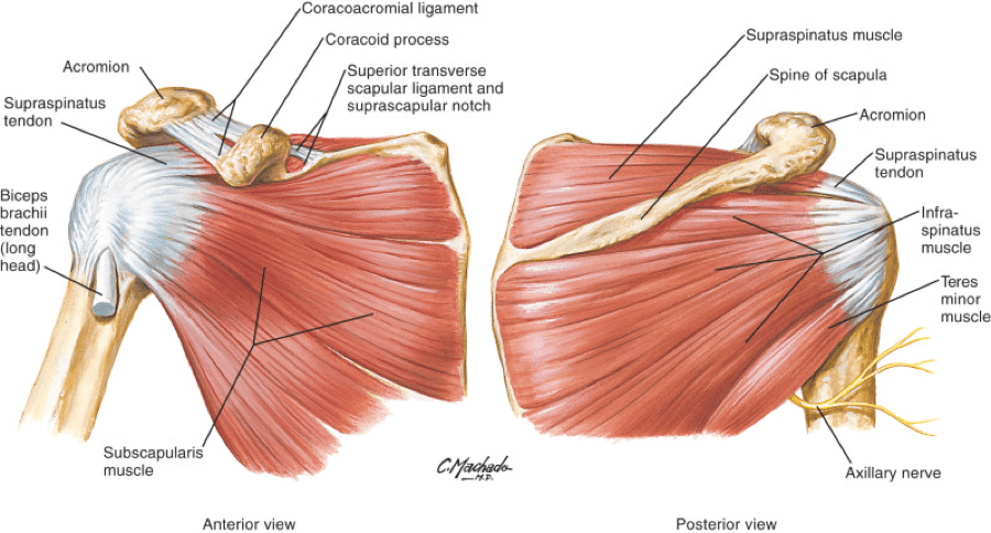 Muscles Attachment of Rotator Cuff Muscle