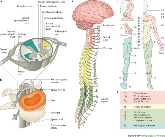 Treatment of Spinal Cord Injury, Treatment of Spinal Cord Injury – Complication, Prevention,