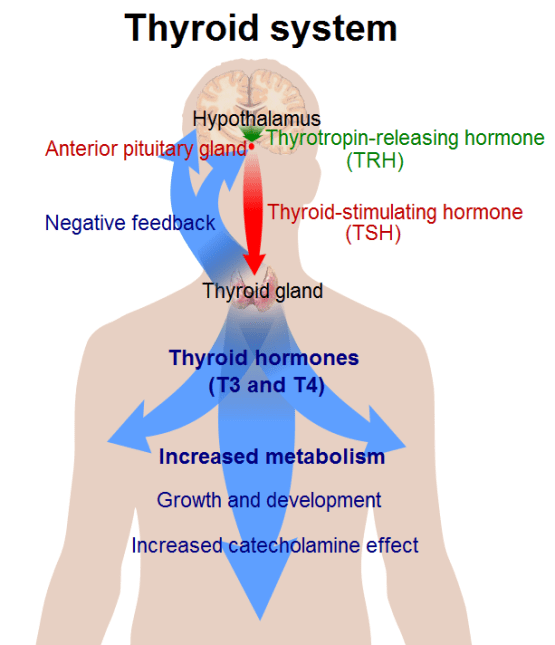 Thyroid Hormone - Types, Functions, Clinical Significance