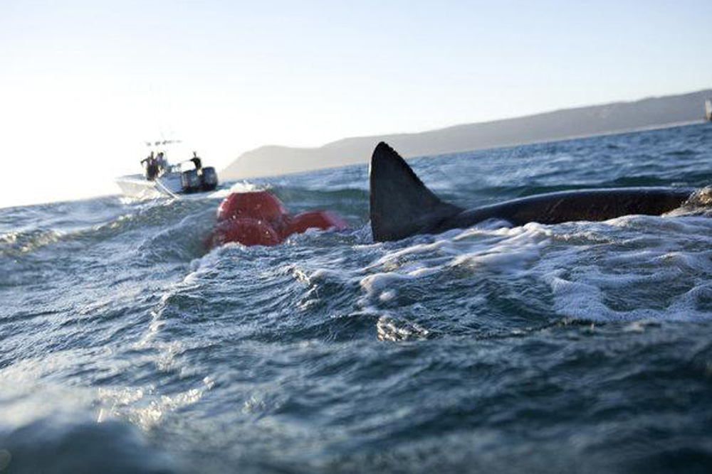 A shark surfaces with the catching tender in the background