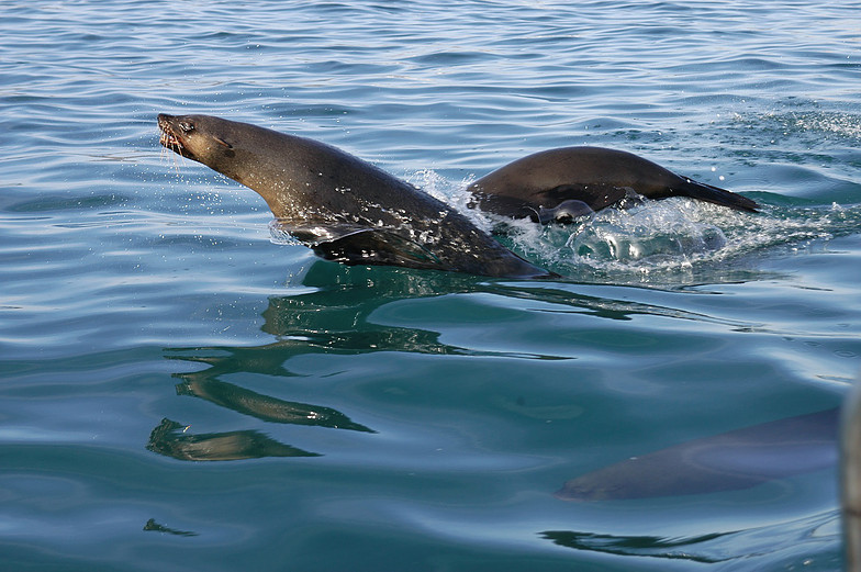 Cape fur seals make a run for it as they exit Seal Island for an evening of offshore foraging