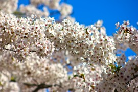 Cherry Blossoms in High Park No. 4