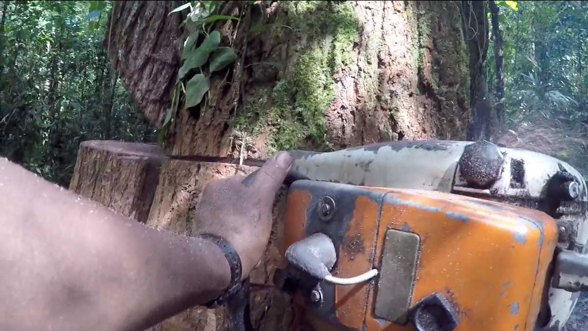 conserving the corridor - sustainable forestry in the Peruvian Amazon, felling a tree with chain saw