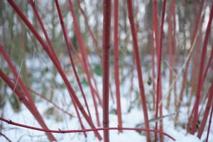 Native plant - Red dogwood