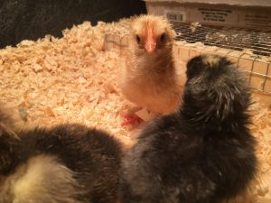 Newly hatched Buff Orpington chick