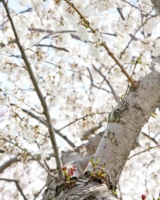 Cherry Blossoms, Tidal Basin, Washington D.C. - Canon EOS 20D - Digital - March 2011
