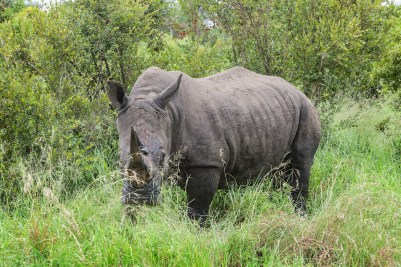 IMG_0002-White-Rhinoceros
