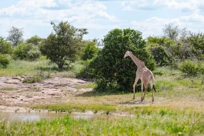 IMG_0387-Giraffe