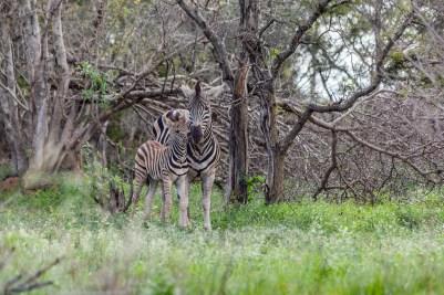IMG_0406-Burchells-Zebra