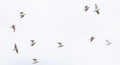 IMG_9323-Grey-headed-Gull