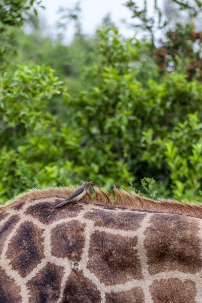 IMG_9650-Red-billed-Oxpecker